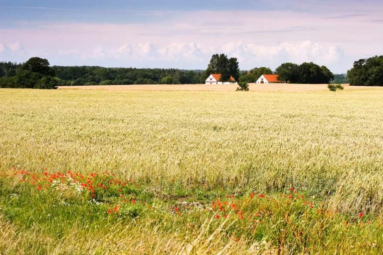 Poppy Fields in Denmark